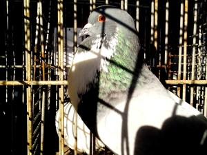 kuk, duva, fågel