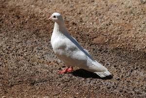 colombe, oiseau blanc