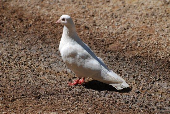 porumbel alb pasăre