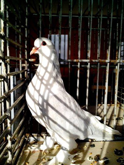dove, white, feathers, legs