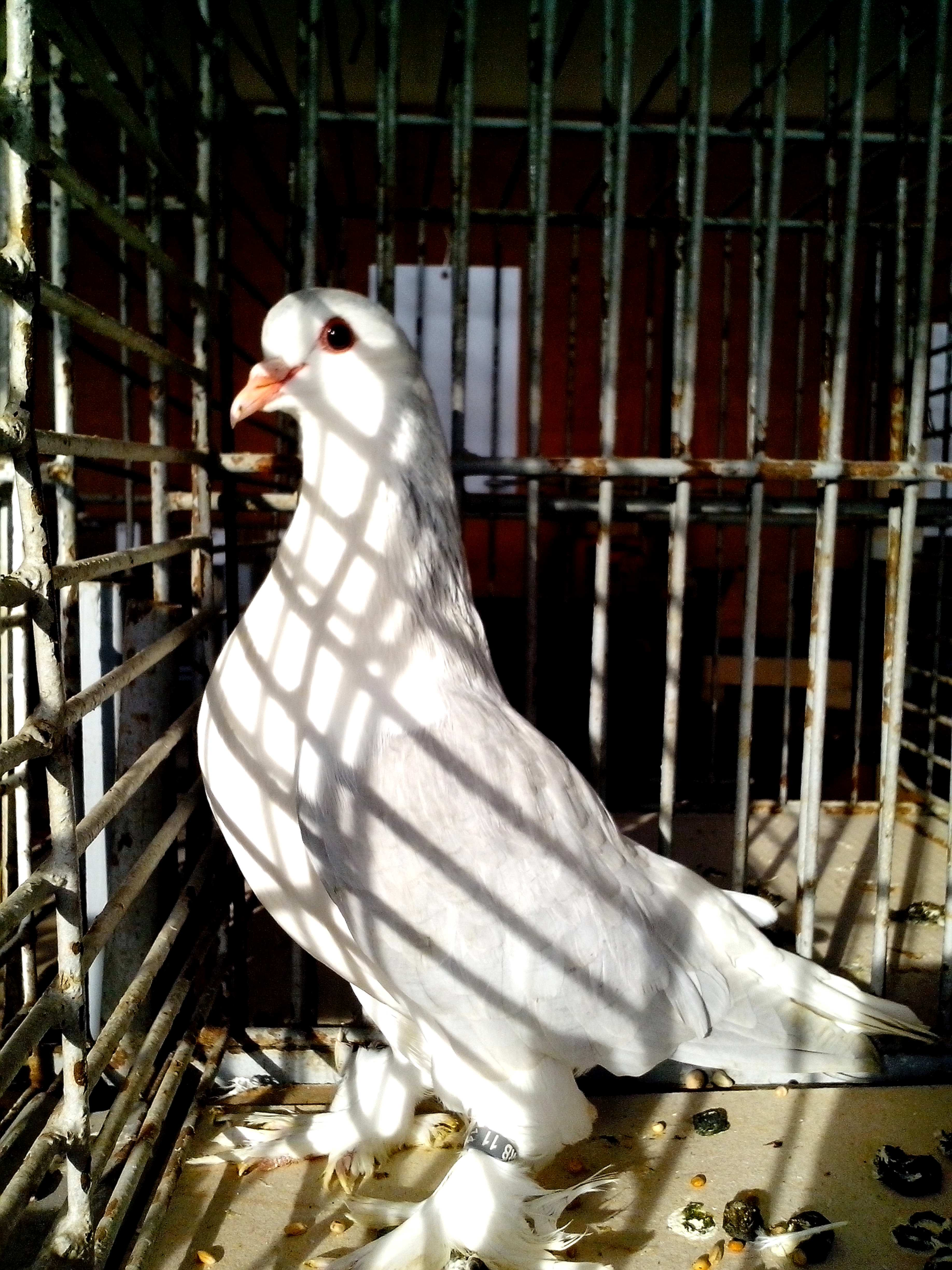 Free photograph; dove, white, feathers, legs