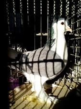 femelle, pigeon, oiseau