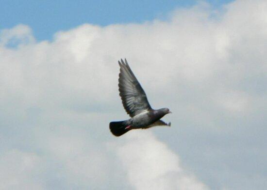 de zbor, porumbei, cer