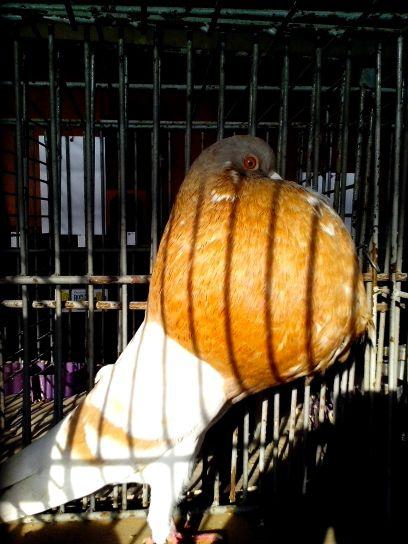 gusano, pigeon, bird