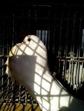 mannelijke, gusano, duif