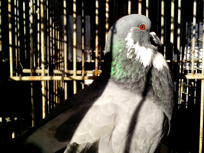 Free photograph; male, pigeon, brilliant, plumage