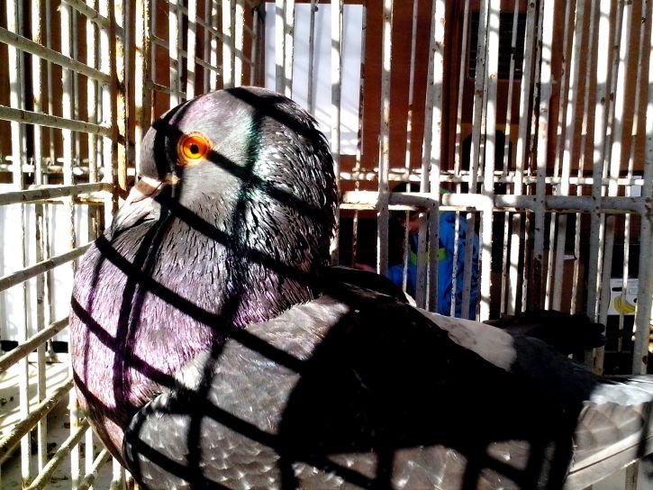 oriental, dark, pigeon