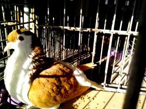 oriental, pigeon, bird