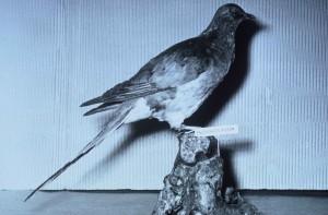 passeggero, piccione, ripieno, speciman