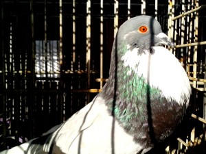 pigeon, brilliant, plumage