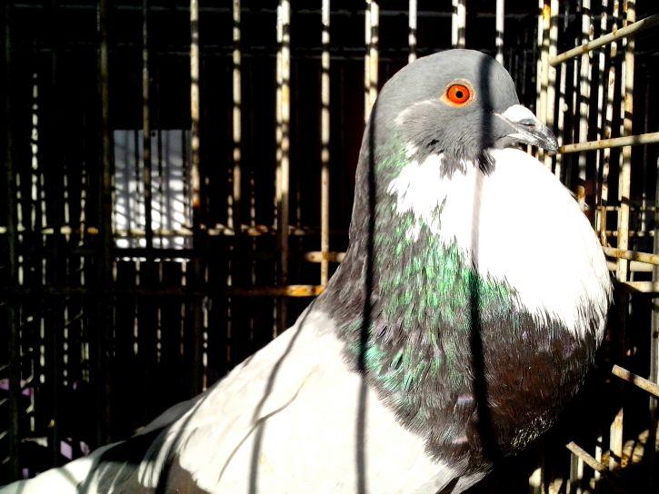 pigeon, brilliant, plumage