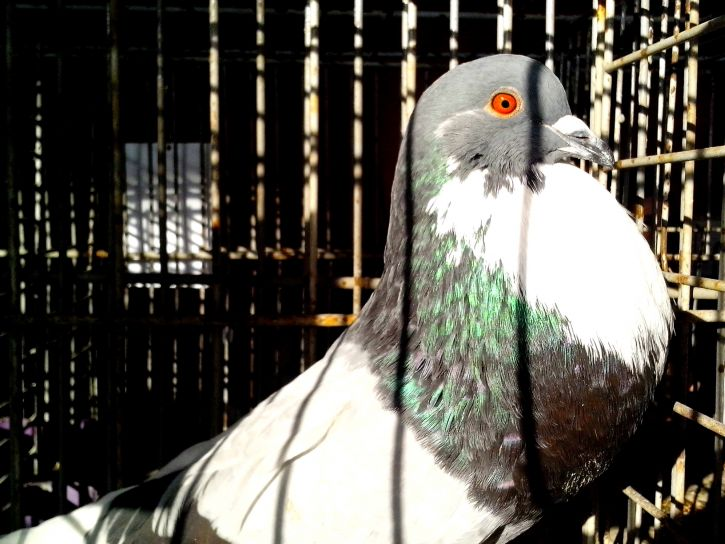 гълъб, брилянтен, перушина