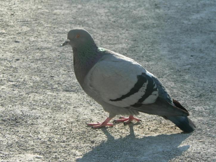 piccione, città