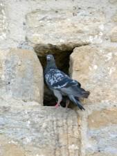 golub, rupa, zid