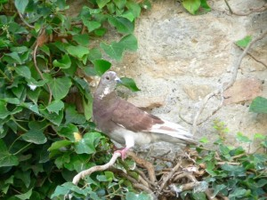 Güvercin, ağaç
