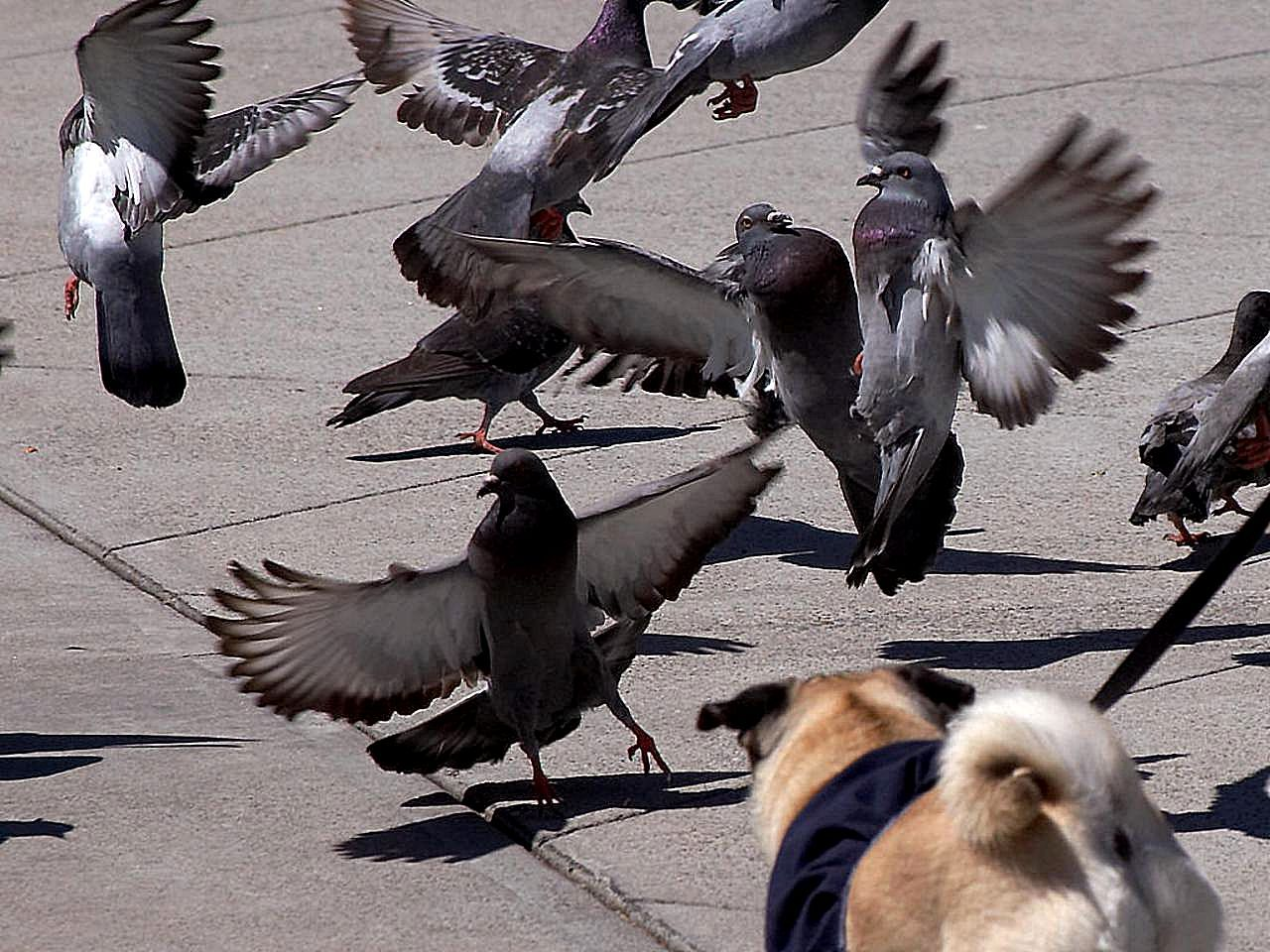 Free Picture Pigeons Taking
