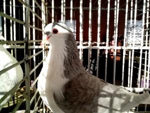 white, gray, pigeon, posing