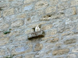 white pigeon, wall