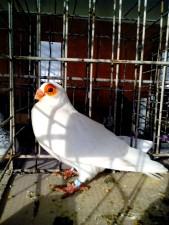 paloma blanca, exposición de aves