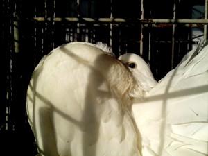 palomas blancas, con orgullo, plumas