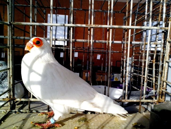 white, pigeon, stands, proudly