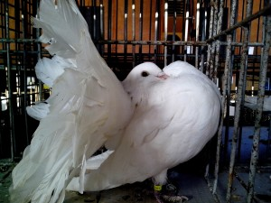 white pigeon, outstretched, tail