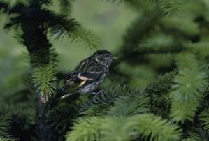 pine, siskin, bird, carduelis, pinus, standing, pine, branch