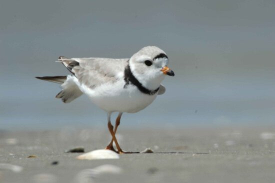 details, image, piping plover, beach