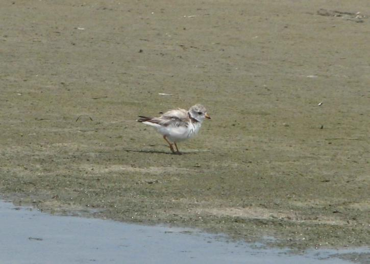 Free picture piping plover adult