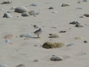 piping plover, bird, beach, charadrius melodus