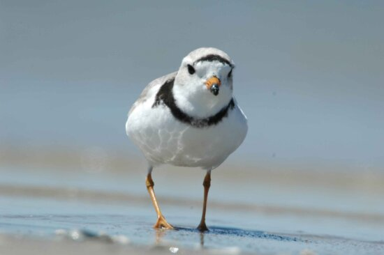 piping plover, walking, beach