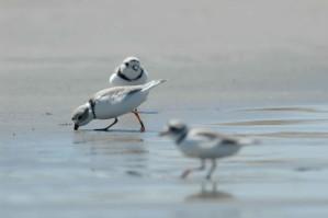 Pipa plovers, makan, Pantai