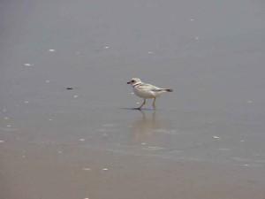 shore, bird, piping plover, chardrius melodus, walking, coast