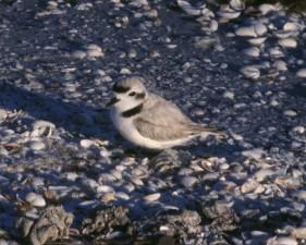 snowy, plover, bird, charadrius alexandrinus, standing, shell, beach