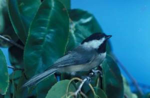 poecile carolinensis, oiseau