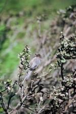 Psaltriparus, minimus, oiseau, sauvage