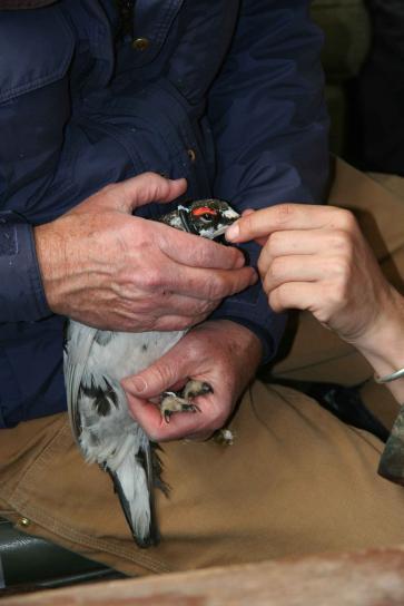 evermanns, ptarmigan, bird, hands