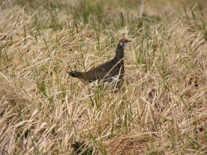 evermanns, rock, ptarmigan, bird, male, grass, lagopus, mutus, evermanni