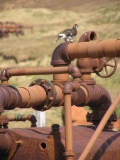 evermanns, rock, ptarmigan, bird, pipes