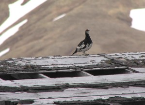 evermanns, rock, ptarmigan, bird, roof