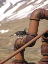 evermanns, rock, ptarmigan, rusty, pipe