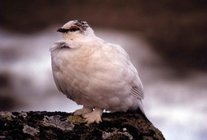 rock, ptarmigan, bird, winter, plumage, lagopus, mutus