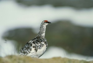 rock, ptarmigan, bird, lagopus, mutus