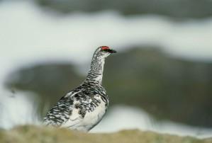 rock, ptarmigan, bird, lagopus mutus