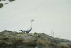 rock, ptarmigan, bird, standing, rock, lagopus, mutus