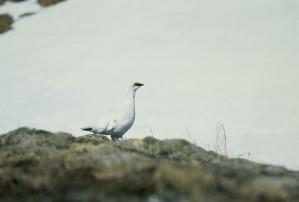 rock, ptarmigan, bird, standing, rock, lagopus mutus