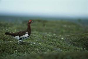 grouse, bird, standing, plants, wildflowers