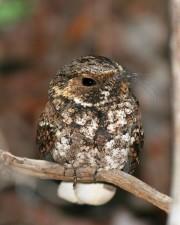 up-close, macro, bird, image, Puerto Rico, nightjar, chick