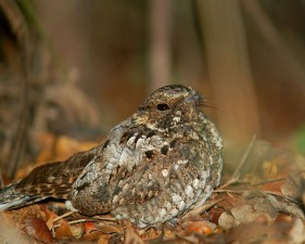 Puerto Rico, nightjar, bird, caprimulgus noctitherus