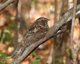 Puerto Rico, nightjar, bird, caprimulgus, noctitherus, tree